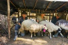Ordeñando ovejas la vieja manera Imágenes de archivo libres de regalías