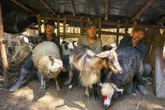 Ordeñando ovejas la vieja manera Fotografía de archivo