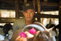 Ordeñando ovejas la vieja manera Fotografía de archivo libre de regalías