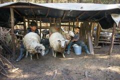 Ordeñando ovejas la vieja manera Imagenes de archivo