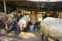 Ordeñando ovejas la vieja manera Imagen de archivo libre de regalías