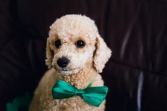In orde gemaakte beige poedel, grappig puppy royalty-vrije stock foto