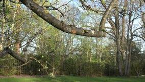 In orde gemaakte fruitboom tak en het openen bladeren in de lente 4K stock footage