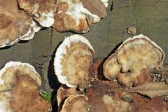 Ordem dos fungos Aphyllopholares conhecido como Foto de Stock