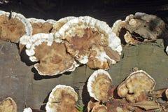 Ordem dos fungos Aphyllopholares conhecido como Fotografia de Stock Royalty Free