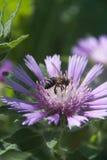 Ordenador principal del polen de la abeja Fotos de archivo libres de regalías