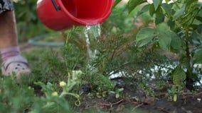 Ordenha ecológica, agricultura, pensionista na dacha A avó molhou seu jardim de uma grande cubeta vermelha vídeos de arquivo