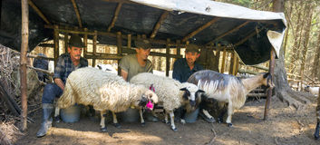 Ordenhando carneiros a maneira velha Foto de Stock Royalty Free