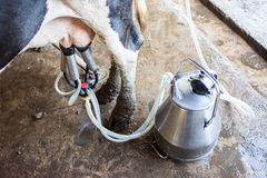 Ordenhando o leite imagem de stock royalty free