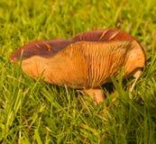 Ordenhe o cogumelo Fotos de Stock