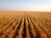 Ordentliche saubere Reihen des Weizens Stockfoto