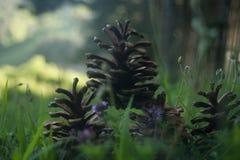 Order of Pine cones Stock Image