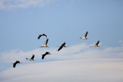 Ordered cranes flying in formation Stock Image