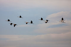 Ordered cranes flying in formation Stock Photography