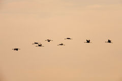 Ordered cranes flying in formation Royalty Free Stock Photo