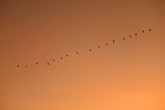 Ordered cranes flying in formation Stock Photos