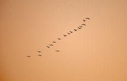 Ordered cranes flying in formation Royalty Free Stock Photos