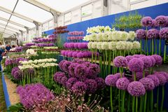 Ordered rows of Allium on display, Hampton Court flower show 2017. Royalty Free Stock Image
