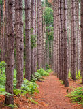 Ordered Stand of Tall Trees. The pathway into Cranesville Swamp Preserve in Garrett County, Maryland is flanked by an ordered stand of trees to include Norway Royalty Free Stock Photos
