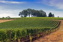 An orderly vineyard at the top of a hill Stock Image