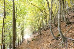 Ordesa. Autumnal beech trees in the valley of Ordesa, Pyrenees, Huesca, Aragon, Spain Stock Photography