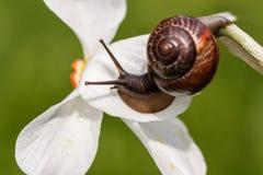 Ordinaire d'escargot Plan rapproché, fond brouillé Escargot sur une fleur Image libre de droits