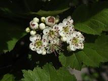 Ordinaire de floraison d'aubépine de Bush au printemps images stock