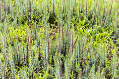 Ordinaire de Hostnik ou lat de pin de l'eau Hippuris vulgaris Photo stock