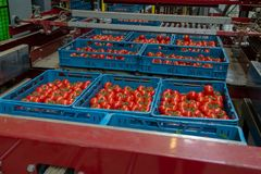 Ordinando e catena di imballaggio dei pomodori rossi maturi freschi sulla vite dentro Fotografie Stock