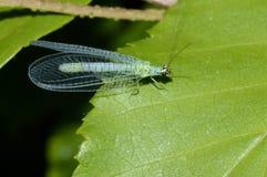 Ordinario del Lacewing su una foglia verde immagine stock libera da diritti