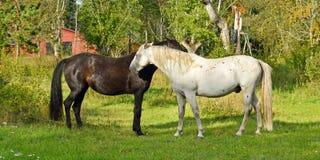 Ordinario della giumenta e dello stallone del purosangue Lo stallone morde delicatamente la giumenta Fotografia Stock