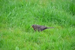 Ordinary Blackbird Royalty Free Stock Photo