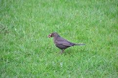 Ordinary Blackbird Stock Image