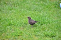 Ordinary Blackbird Royalty Free Stock Photography