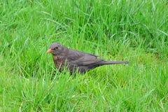 Ordinary Blackbird Royalty Free Stock Images
