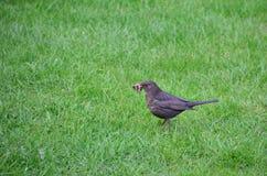 Ordinary Blackbird Stock Photography