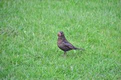 Ordinary Blackbird Stock Images