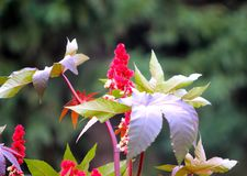 The ordinary castor-oil plant Ricinus communis on blurred green background. Annual, medicinal, garden plant with large palmately separated leaf plates and red royalty free stock images