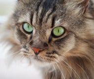 Ordinary cat Stock Image