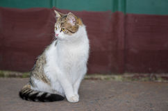 Ordinary cat (male) gracefully sitting on a street Royalty Free Stock Photography