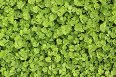Ordinary clover leaves  background Royalty Free Stock Photos