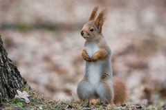 Ordinary Fluffy Squirrel. Funny Eurasian Red Squirrel Sciurus Vulgaris Stands In Autumn Foliage Near A Tree And Looks Left. The Stock Photography
