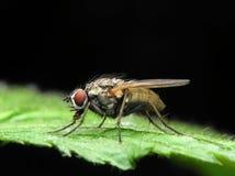 Ordinary fly stock image