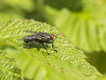 Ordinary fly Stock Images