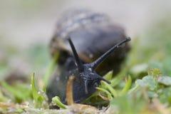 Ordinary garden snail. The Netherlands Royalty Free Stock Photos
