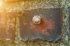 Ordinary garden snail on a brick wall crawling to the top stock photo