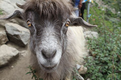 Ordinary goat Royalty Free Stock Image