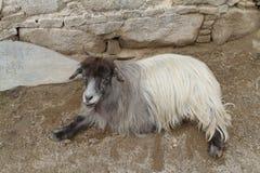 Ordinary goat Stock Photography