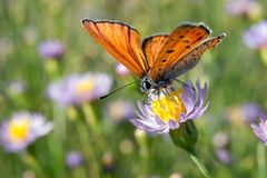 Ordinary hay butterfly (Coenonympha glycerin) Royalty Free Stock Images