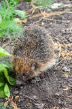 The ordinary hedgehog creeps along the gray earth. Royalty Free Stock Photo
